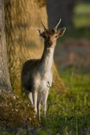 Fallow_Deer